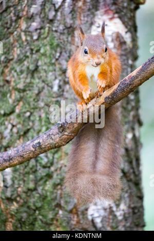 Eichhörnchen (sciurus vulgaris), die in Großbritannien setzte sich auf eine Niederlassung Essen im rothiemurchus - Stockfoto