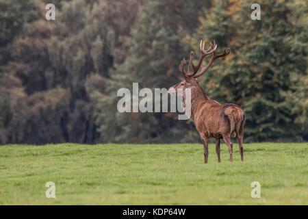 Ein Rotwild Hirsch steht stolz in einem leichten Winkel nach links weist auf Gras Land mit Bäumen als Hintergrund - Stockfoto