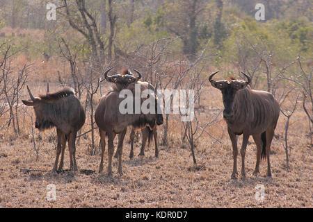 Gruppe von Blue Wildebeest im Krüger National Park, Südafrika - Stockfoto