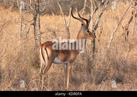 Männliche Impala im Krüger National Park, Südafrika - Stockfoto