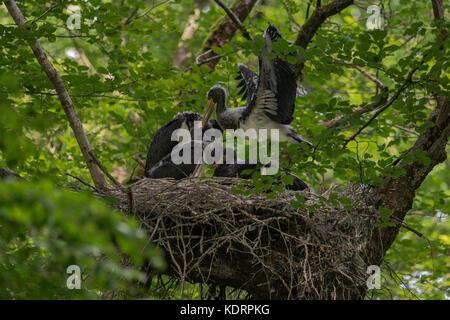 Schwarzer Storch/schwarzstorch (Ciconia nigra), Nachkommen, nestlinge, fast Flügge, Flattern mit Flügeln, in der - Stockfoto
