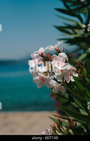 Rosa Nerium oleander Pflanzen mit rosa Blüten vor einem strahlend blauen Himmel und dem klaren, blauen Meer, Lopud, - Stockfoto