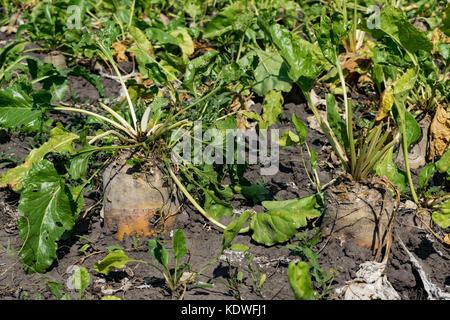 Reifen Zuckerrüben wachsen auf dem Feld - Stockfoto