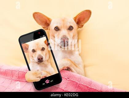 Chihuahua Hund ausruhen und entspannen im Bett unter der Decke ein selfie mit Smartphone - Stockfoto