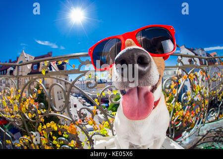 Dumm, dumm, verrückt Jack Russell Hund Portrait in Nahaufnahme fisheye Objektiv zu schauen auf dem Balkon im Sommer - Stockfoto
