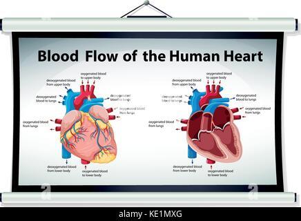 Diagramm mit den Blutfluss des menschlichen Herzens Abbildung Vektor ...