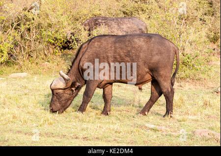 Afrikanischer Büffel im Maasai Mara National Reserve - Stockfoto