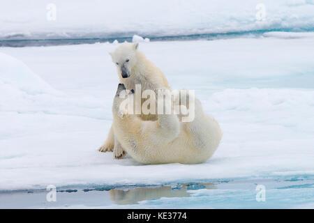 Nach weiblichen Eisbären (Ursus maritimus) Interaktion auf dem Meereis, Svalbard, Das arktische Norwegen - Stockfoto