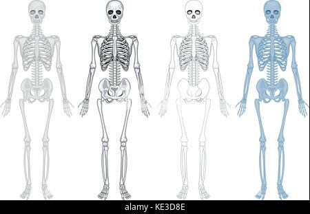 menschliche Knochen. Skelett Anatomie Satz Vektor Abbildung - Bild ...