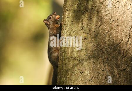 Ein seltener Schwarzer Eichhörnchen (Scirius carolinensis