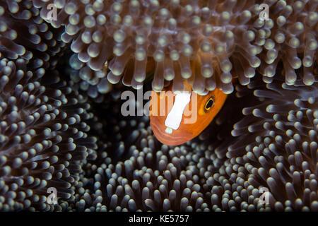 Eine orange Anemonenfischen späht aus seinem Host Anemone auf einem Riff, Indonesien. - Stockfoto