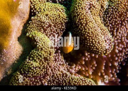 Orange Anemonenfischen in Tioman Insel, Malaysia. - Stockfoto