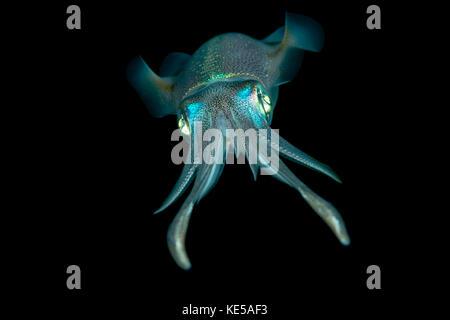 Bigfin reef Squid, sepioteuthis lessoniana, Marsa Alam, Rotes Meer, Ägypten - Stockfoto