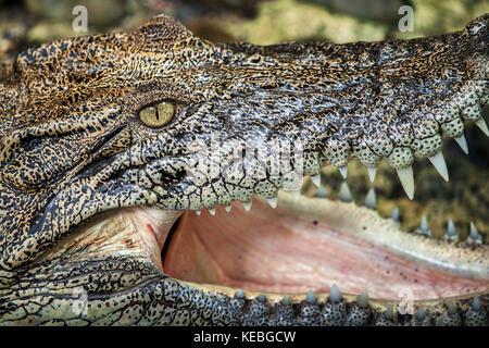 Extreme Nahaufnahme eines Salzwasser Krokodil (crocodylus porosus) Kopf enthüllt die Textur der Haut mit hervorstehenden - Stockfoto