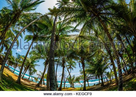Palmen, Strand, Akurala Südküste von Sri Lanka. - Stockfoto