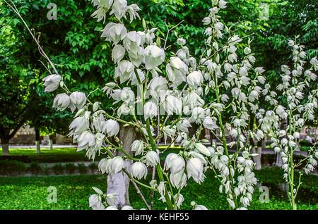 Yucca-Pflanze mit Knospen und Blüten Stockfoto, Bild: 139253007 - Alamy