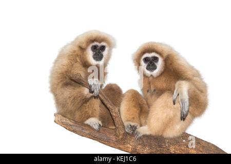 Ein paar der Lar, oder Weiß-handed Gibbons (Hylobates lar), Captive, auf weißem Hintergrund. - Stockfoto