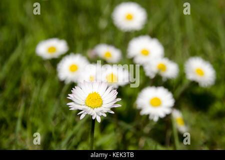 Detailansicht von Clean blühenden Gänseblümchen auf einer Wiese in unscharfe, grünes Gras auf einer sonnigen Frühling - Stockfoto