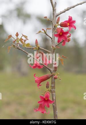 Wenig hell rosa Bell Blumen auf einem Pieris japonica Bush. Vibrant ...