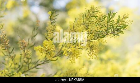 Frühling in Australien mit gelben wattle Blumen erblühen und bokeh Hintergrund - Stockfoto