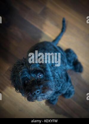 Ein schwarzer Hund schaut direkt in die Kamera - Stockfoto