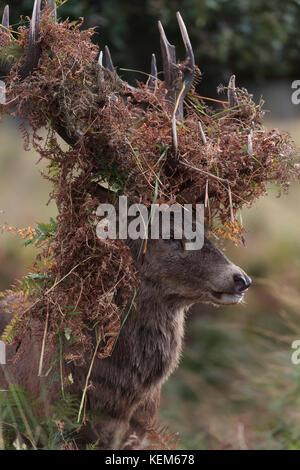 Rotwild Hirsche Aggression und Verhaltensweisen während der jährlichen Hirschbrunft - Stockfoto