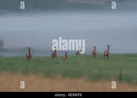 Herde Hirsche und Rehe sind leavng die Felder und wieder in den Wald, wo Sie den Tag verbringen - Stockfoto