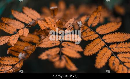 Herbstlaub in der Stadt in die Natur. Orange Blätter in den Park. In der Nähe des schönes Laub. Stockfoto