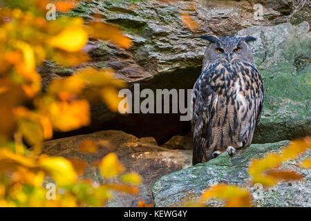 Uhu (Bubo bubo) sitzen auf Felsvorsprung in der Felswand im Herbst Wald - Stockfoto