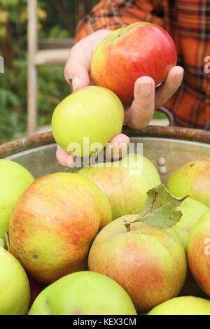 Bramley Äpfel (Malus Domestica Bramley's Seedling) sind von einem Baum in einem Englischen Garten, der von einem - Stockfoto