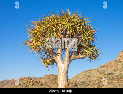 Ein köcherbaum oder köcherbaum wachsen im Goegap Nature Reserve im nördlichen Cape Provinz von Südafrika. - Stockfoto