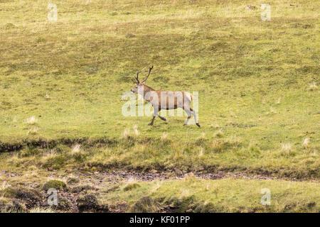 Red deer Hirsch (Cervus elaphus scoticus) in den Wilden. - Stockfoto