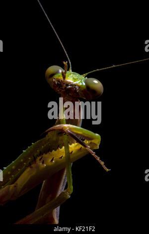 Mantis, Makrofotografie gemeinsamen Green Mantis oder beten Mantis auf schwarzem Hintergrund isoliert. - Stockfoto