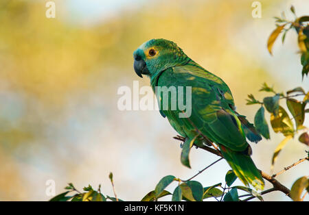 Blue-fronted Amazon (Amazona aestiva), Pantanal, Brasilien - Stockfoto