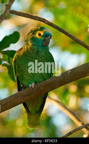 Blue-fronted Amazon (Amazona aestiva) sitzt in einem Baum, Pantanal, Brasilien - Stockfoto