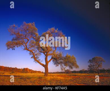 Beefwood (grevillea Striata), einsamer Baum. australischen Aborigines mit dem Sap, getrocknet und gemahlen als Trockenmittel - Stockfoto