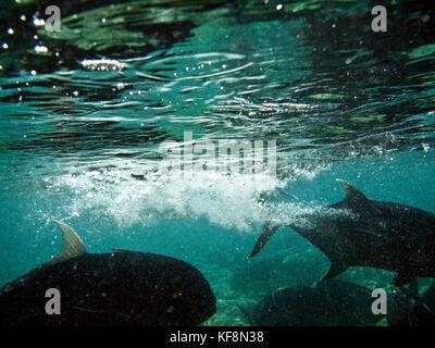Philippinen, palawan El Nido, maniloc Island, Jack Fische schwimmen in den flachen Gewässern von Miniloc Island - Stockfoto