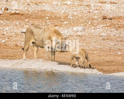 Ein männlicher Löwe und Cub, die durch ein Wasserloch in der namibischen Savanne - Stockfoto