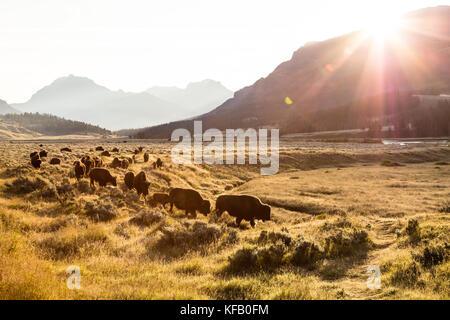 Eine Herde von Amerikanischen Bisons grasen im Grasland bei Sonnenaufgang vor dem Amphitheater, Berg und den abjathar - Stockfoto