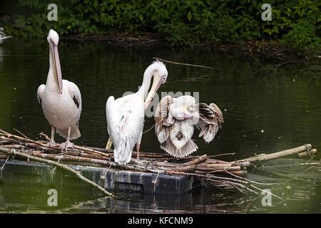 Gruppe Pelikane sitzen auf Baum im See. Sommer 2017 - Stockfoto