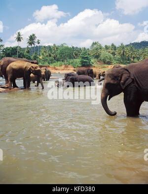 SRI LANKA, Asien, Gruppe von Elefanten in Maha Oya Fluß an Pinnewala - Stockfoto