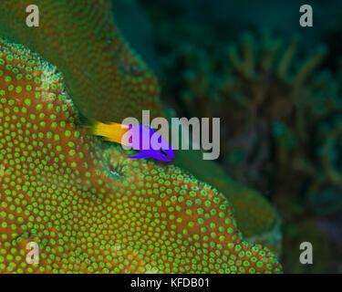 Fairy basslet schwebt über grüne Boulder Coral (Montastrea sp.). Bonaire, Niederländische Antillies. - Stockfoto