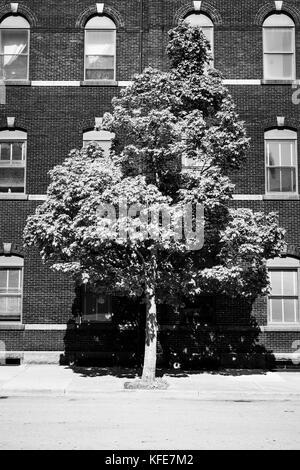 Ein einsamer Baum auf einem Bürgersteig vor einem Backsteingebäude. - Stockfoto