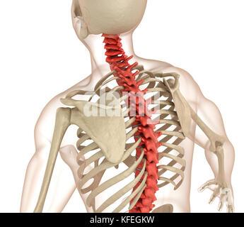 Anatomie der Wirbelsäule. medizinisch genaue 3D-Darstellung - Stockfoto