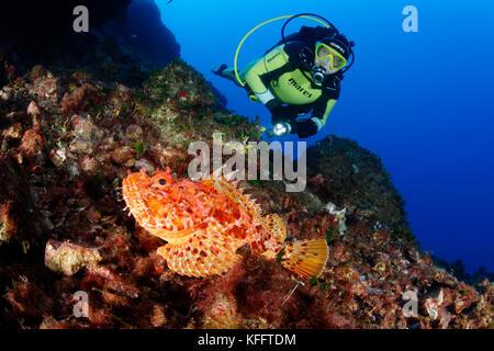 Roter Drachenkopf, scorpaena scrofa und Scuba Diver, Adria, Mittelmeer, Insel Brac, Dalmatien, Kroatien - Stockfoto