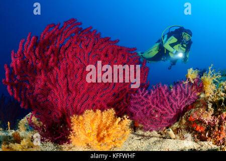 Violescent meer Peitsche, Paramuricea Clavata, Coral Reef und Scuba Diver, Adria, Kornaten, Dalmatien, Kroatien - Stockfoto