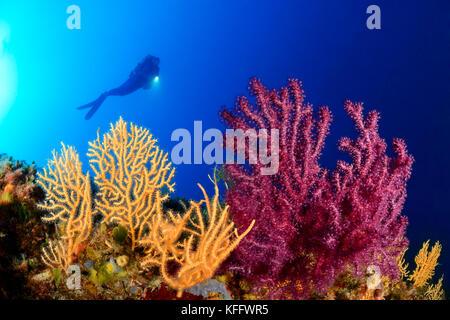 Violescent und gelben Meer Peitsche und Scuba Diver, Paramuricea Clavata und eunicella Cavolini, Adria, Kornaten, - Stockfoto