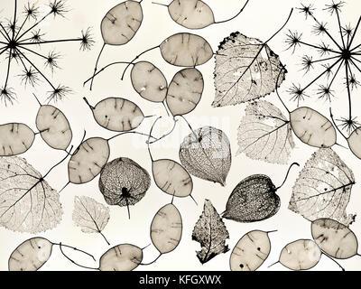 Chinesische Laternen physalis alkekengi Skelette, Skelett Blätter, Ehrlichkeit Samenkapseln und Hedge paisley Samenköpfe - Stockfoto