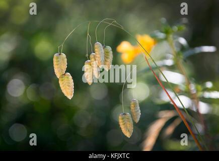 Beben Gras (wildes Gras Arten), Mount Tamalpais State Park, Kalifornien, USA - Stockfoto