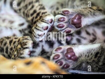 Wladiwostok, Russland. 30 Okt, 2017. Ein neugeborenes African leopard Cub von seiner Mutter in die sadogorod Zoo - Stockfoto